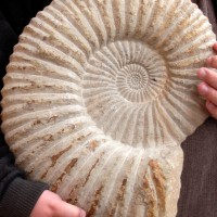 Ammonite Fossil1 200x200 Ancient Spirals